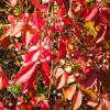 Euonymus 'Indian Summer'