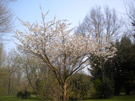 prunus thai haku